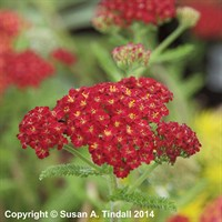 Achillea 'Desert Eve Red' in a 2L Pot