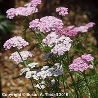 Achillea Millefolium 'Wonderful Wampee' in a 2L Pot