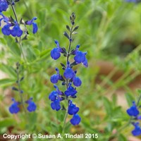 Salvia 'Blue Note' in a 9cm Pot