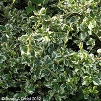 Euonymus Emerald Gaiety in a 3L Pot