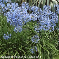 Agapanthus Castle Of Mey in a 2L Pot