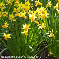 Narcissus Jet Fire 13cm Potted Bulbs