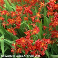 Crocosmia Carmin Brilliant in a 9cm Pot