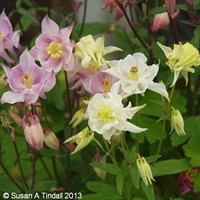 Aquilegia Biedermier 6 Pack Boxed Bedding