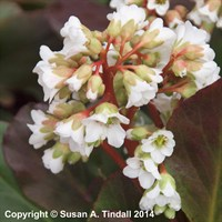 Bergenia Bressingham White in a 9cm Pot