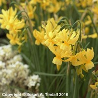 Narcissus Hawera 10.5cm Potted Bulbs