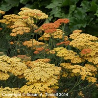 Achillea Terracotta in a 9cm Pot