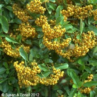 Pyracantha Golden Charmer in a 3L Pot
