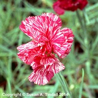Dianthus Haytor Rock in a 9cm Pot