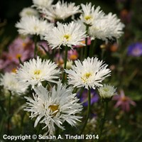 Leucanthemum aglaia in a 9cm Pot