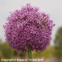 Allium 'Gladiator' in a 2L Pot