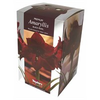 Taylors Bulbs Amaryllis Black Pearl - Single (AP75B)