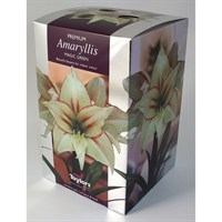 Taylors Bulbs Amaryllis Magic Green - Single (AP75F)