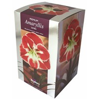 Taylors Bulbs Amaryllis Samba - Single (AP75G)