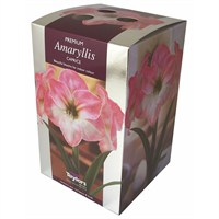 Taylors Bulbs Amaryllis Caprice - Single (AP76G)