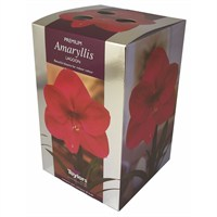Taylors Bulbs Amaryllis Lagoon - Single (AP76H)