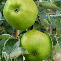 Apple Bountiful M26 - 10 Litre