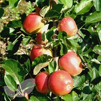 Apple Braeburn - 10 Litre