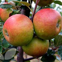 Apple Coxs Orange Self Fertile - 10 Litre