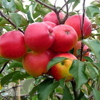 Apple Falstaff M26 - 10 Litre
