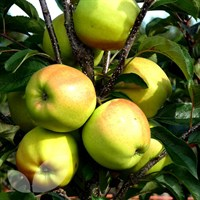 Apple Golden Delicious - 10 Litre