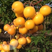 Apple Malus Crab Apple Golden Hornet M106 - 10 Litre