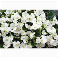 Begonia White Green Leaf 12 Pack Boxed Bedding