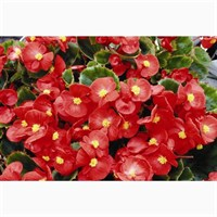 Begonia Red Green Leaf 12 Pack Boxed Bedding