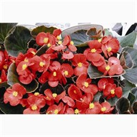 Begonia Red Bronze Leaf 12 Pack Boxed Bedding