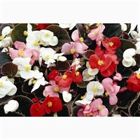 Begonia Mixed Bronze Leaf 12 Pack Boxed Bedding