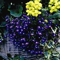 Lobelia Sapphire (Trailing) 12 Pack Boxed Bedding