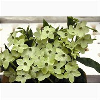 Nicotiana Domino Lime 12 Pack Boxed Bedding
