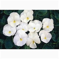 Pansy F1 Pure White 6 Pack Boxed Bedding