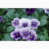 Pansy F1 Light Blue 6 Pack Boxed Bedding