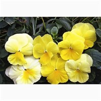 Pansy F1 Primrose 6 Pack Boxed Bedding