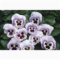 Pansy F1 Marina 6 Pack Boxed Bedding