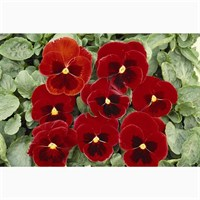 Pansy F1 Red 6 Pack Boxed Bedding
