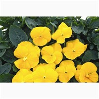 Pansy F1 Golden Yellow 6 Pack Boxed Bedding
