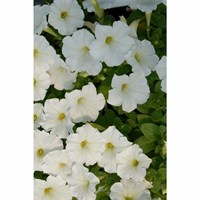 Petunia (Trailing) Wave White 6 Pack Boxed Bedding