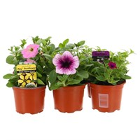 Petunia Grandiflora Mixed 6 Pack Boxed Bedding