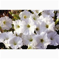 Petunia F1 Frenzy White 12 Pack Boxed Bedding