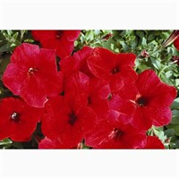 Petunia F1 Frenzy Scarlet 12 Pack Boxed Bedding