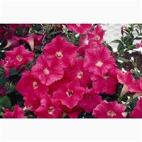 Petunia (Trailing) Wave Rosy 6 Pack Boxed Bedding