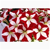 Petunia F1 Frenzy Red Star 12 Pack Boxed Bedding
