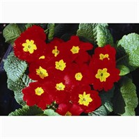 Primrose Red 6 Pack Boxed Bedding