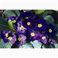 Primrose Blue 6 Pack Boxed Bedding