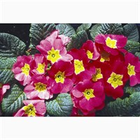 Primrose Rose Shades 6 Pack Boxed Bedding