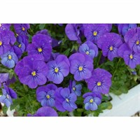 Viola F1 Blue 6 Pack Boxed Bedding