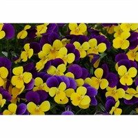 Viola F1 Orange Duet 6 Pack Boxed Bedding