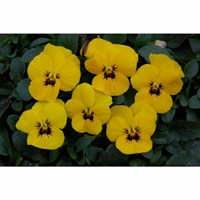 Viola F1 Yellow Blotch 6 Pack Boxed Bedding